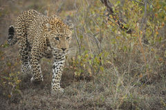 Leopard in the grasslands Royalty Free Stock Photo
