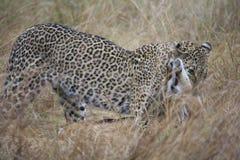 Leopard greift Gazelle Stockfoto
