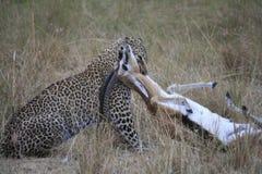 Leopard greift Gazelle Lizenzfreie Stockfotografie