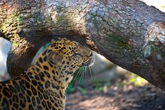 Leopard Grooming. Leopard on a lazy afternoon in New Orleans zoo Royalty Free Stock Images