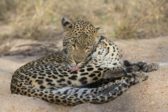 Leopard grooming self in sand Stock Images