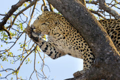 Leopard grooming, South Africa. Male Leopard (Panthera pardus)grooming himself in a tree, South Africa Stock Photography