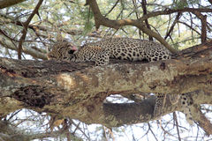 Leopard grooming on a tree Royalty Free Stock Photo