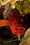 Leopard Grouper with cleaner shrimp Stock Photos