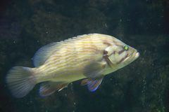 Leopard grouper or Mycteroperca rosacea Stock Images