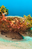 Leopard grouper (Mycteroperca rosacea) Stock Photo