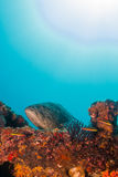 Leopard grouper (Mycteroperca rosacea) Royalty Free Stock Photography
