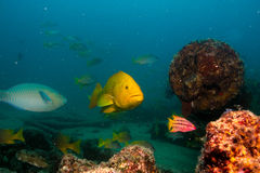 Leopard grouper (Mycteroperca rosacea) Stock Images