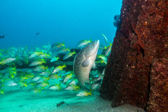 Leopard grouper (Mycteroperca rosacea) Stock Photography