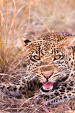 Leopard Growling Royalty Free Stock Image