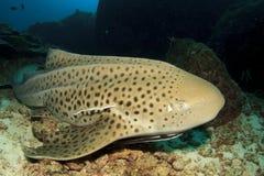 Leopard-Haifisch lizenzfreie stockfotografie