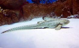 Leopard-Haifisch lizenzfreies stockbild