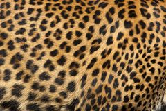 Leopard-Haut Stockfotografie