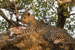 Leopard having a Late dinner Stock Image