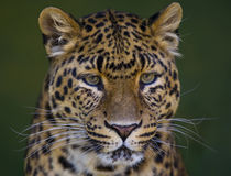 Leopard head. Close up portrait of chinesse leopard Stock Photos
