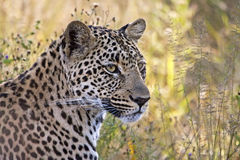 Leopard head closeup in long grass Royalty Free Stock Image