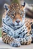 Leopard, head