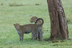 Leopard and her cub under a tree. A leopard and her cub under a tree on the grasslands of the Maasai Mara, Kenya Stock Photography