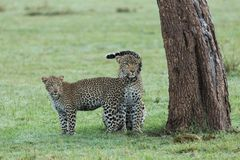 Leopard and her cub under a tree. A leopard and her cub under a tree on the grasslands of the Maasai Mara, Kenya Royalty Free Stock Photo