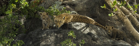 Leopard and her cubs resting on rocks, Serengeti, Tanzania. Africa Royalty Free Stock Photo