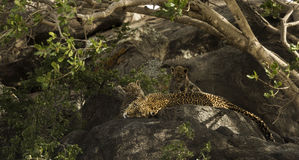Leopard and her cubs resting on rocks, Serengeti, Tanzania royalty free stock photos