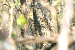 Leopard hidden behind trees. Africa, bush, looking at you Royalty Free Stock Image