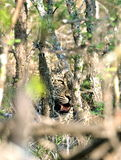 Leopard hidden behind trees Stock Photos