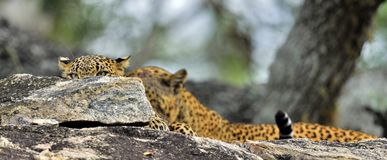 The leopard hides in the rocks, looking out from behind the stone. Stock Images