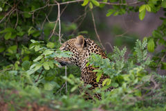 Leopard hiding behind leaves Royalty Free Stock Images