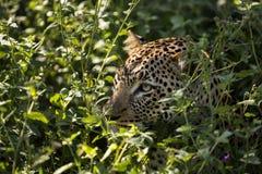 Leopard hiding in a bush, Serengeti, Tanzania Stock Photography