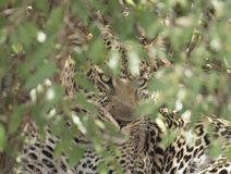Leopard hiding in the bushes. stock photo
