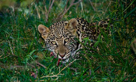 Leopard hiding in the grass. Close-up. National Park. Kenya. Tanzania. Stock Image