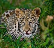 Leopard hiding in the grass. Close-up. National Park. Kenya. Tanzania. Stock Image