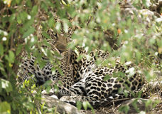 leopard in hiding Stock Photography