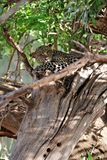 Leopard hiding in a tree Stock Photography