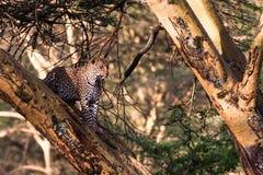 Leopard hiding on the tree. Nakuru. Royalty Free Stock Photo