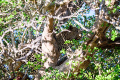 Leopard hiding in a tree Stock Images