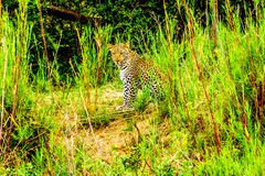 Leopard in the High Grass along the Olifant River in Kruger National Park Stock Photo