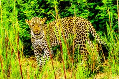 Leopard in the High Grass along the Olifant River in Kruger National Park Royalty Free Stock Images
