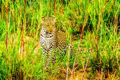 Leopard in the High Grass along the Olifant River in Kruger National Park Royalty Free Stock Photos