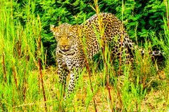 Leopard in the High Grass along the Olifant River in Kruger National Park Stock Images