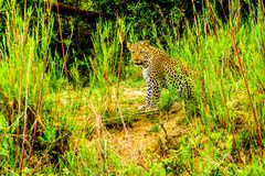 Leopard in the High Grass along the Olifant River in Kruger National Park Stock Photos