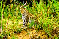 Leopard in the High Grass along the Olifant River in Kruger National Park Royalty Free Stock Image