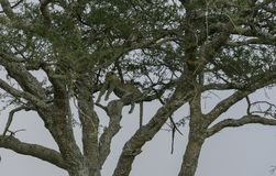 Leopard high up in tree, lying across a branches, looking left Royalty Free Stock Photos