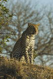 Leopard on hill Royalty Free Stock Images