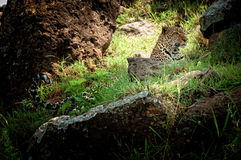 Leopard on a hillside Stock Photo