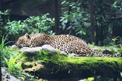 A leopard stock photos