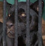 Leopard hinter Stäben Stockbild