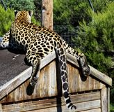 Leopard on his house Stock Image