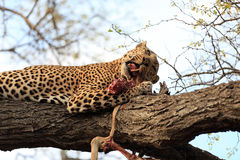 Leopard. With his kill on a tree in the Krueger National Park in South Africa Royalty Free Stock Photography